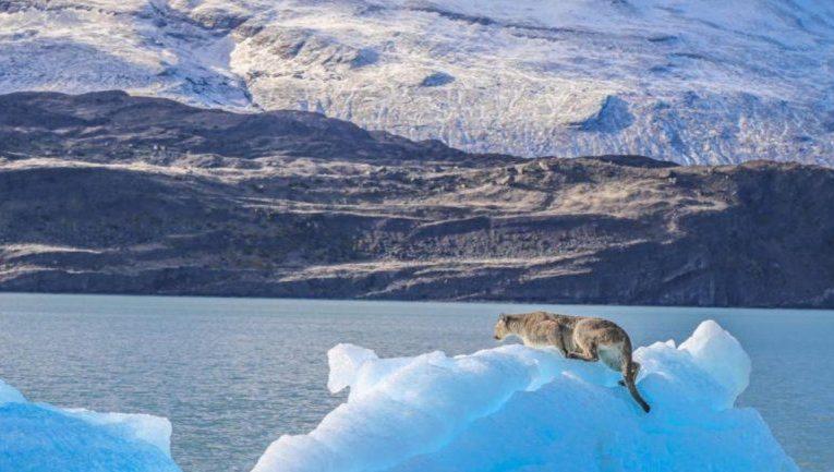 Un puma quedó atrapado sobre un iceberg en Santa Cruz
